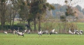 Kraniche suchen auf den umliegenden Feldern nach Nahrung.